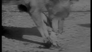 The Thylacine Museum   The Thylacine in Captivity The Historical Thylacine Films film 6