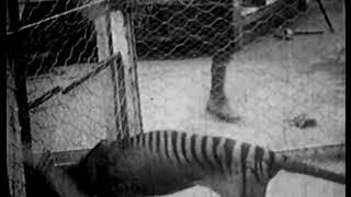 The Thylacine Museum   The Thylacine in Captivity The Historical Thylacine Films film 1
