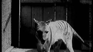 The Thylacine Museum   The Thylacine in Captivity The Historical Thylacine Films film 3