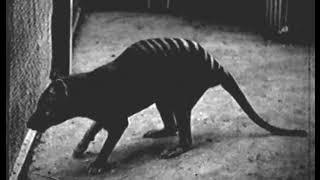 The Thylacine Museum   The Thylacine in Captivity The Historical Thylacine Films film 4