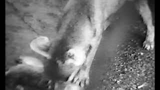 The Thylacine Museum   The Thylacine in Captivity The Historical Thylacine Films film 7