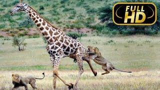 LION KINGDOM. Hunter of Giants / FULL HD - Documentary Films 2018 on Amazing Animals TV